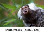 Common Marmoset Peeking Out...