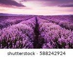 Blooming Lavender Field Under...