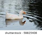 Domesticated White Pekin Duck