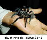 Small photo of Tarantula on hand, overcoming fear of spiders