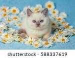 Stock photo cute little color point kitten sitting on chamomile flowers 588337619