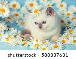 Stock photo cute little color point kitten sitting on chamomile flowers 588337631