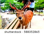 a cute nara deer with antlers...   Shutterstock . vector #588352865