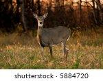 Alert White Tail Deer  Side...