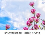 blossoming of magnolia flowers... | Shutterstock . vector #588477245