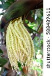 Palm Candy Palm In Thailand Has ...