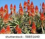 Image Of An Aloe Plants Garden
