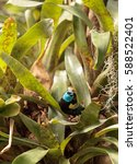 Small photo of Blue necked tanager scientifically known as Tangara cyanicoilis is found in Central Columbia.