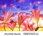 pink lily flowers on the...   Shutterstock . vector #588550511