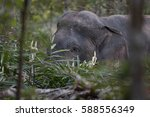 wildlife animal  hide under... | Shutterstock . vector #588556349