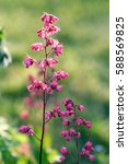 Small photo of Heuchera (alumroot or coral bells) flowers in sun light in a garden