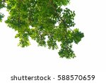 Green Leaves And Branches On...
