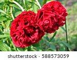 Red Peony Lactiflora X Paeonia...