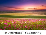 Cosmos Field With Sunrise At...