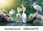 Birds Pelicans. Positive Birds...