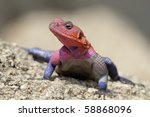 Red Headed Rock Agama Male...