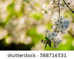 blooming apple trees spring... | Shutterstock . vector #588716531