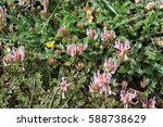 Small photo of alpine clover flower, Trifolium alpinum