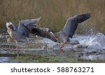Geese Fighting