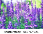 sunset over a violet lavender... | Shutterstock . vector #588764921