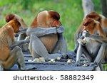 Group Of Proboscis Monkeys...