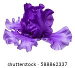 Blooming Iris Flower Isolated...