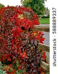 Small photo of Parthenocissus quinquefolia Virginia Creeper covering a garden fence
