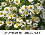 Chamomile Garden   White...