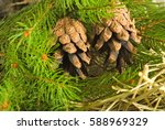 Image Of A Spruce Branch Close...