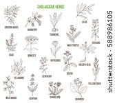cholagogue herbs. hand drawn... | Shutterstock .eps vector #588986105