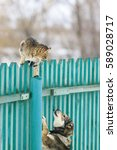 Stock photo  dog chased the cat on a high wooden fence in the village 589028717