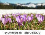 Field Of Wild Purple Crocuses....