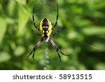 Black   Yellow Garden Spider...