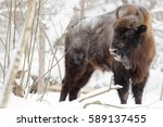 Bison In The Winter Forest