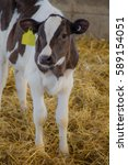 Small photo of Young Holstein calf standing in straw.