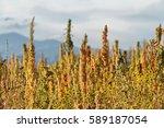 Stock photo quinoa plantation chenopodium quinoa near cachi northern argentina 589187054