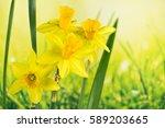Daffodil  Jonquil  Daffodils ...