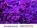 Stock photo flower background lilac flowers in spring garden 589255751