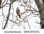 Peregrine Falcon Perched On...