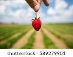 Isolated Strawberry In A Field