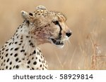 Cheetah close-up, Serengeti NP, Tanzania, East Africa - stock photo