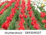 tulip | Shutterstock . vector #589309037