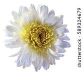 white flower chrysanthemum ... | Shutterstock . vector #589324679