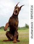 Young Brown Doberman Puppy...