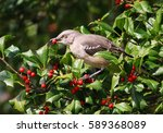 Feeding Northern Mockingbird