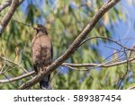 hawk is similar to an eagle  a...   Shutterstock . vector #589387454