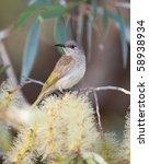 brown honeyeater  lichmera... | Shutterstock . vector #58938934