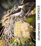 banded honeyeater  certhionyx... | Shutterstock . vector #58939015