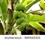 A Bunch Of Green Bananas ...
