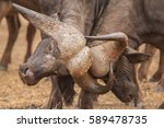 fighting african buffalos ... | Shutterstock . vector #589478735
